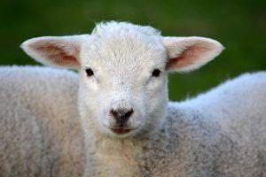 lamb 292512 640 300x200 - lamb-292512_640